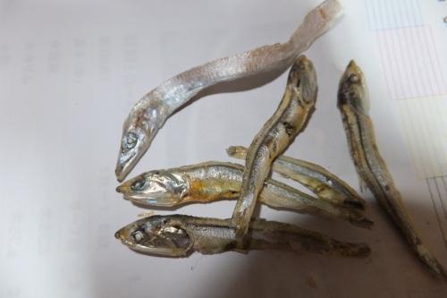 いりこに太刀魚_convert_20111125234643