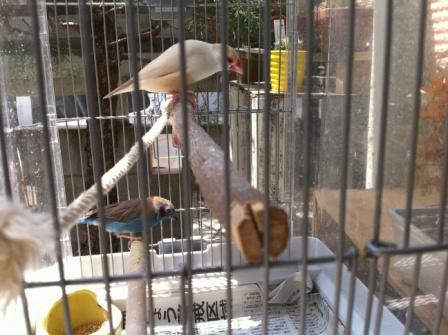 青輝鳥とクリーム文鳥