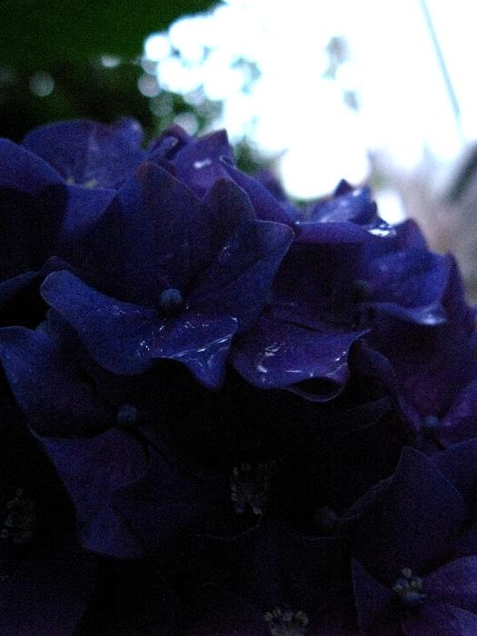嵐の中の紫陽花