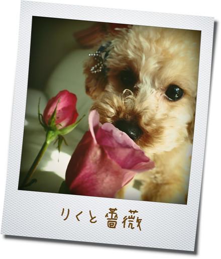 0301りくと薔薇