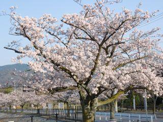 北山ダムの桜