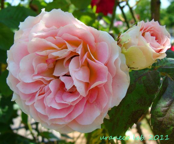 6月14日薔薇2輪