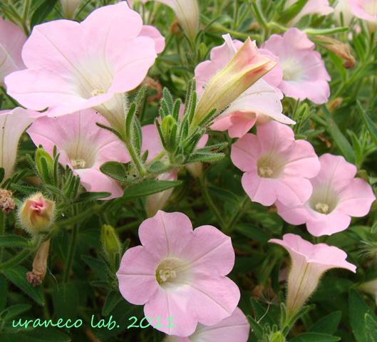 6月15日ペチュニア薄ピンク