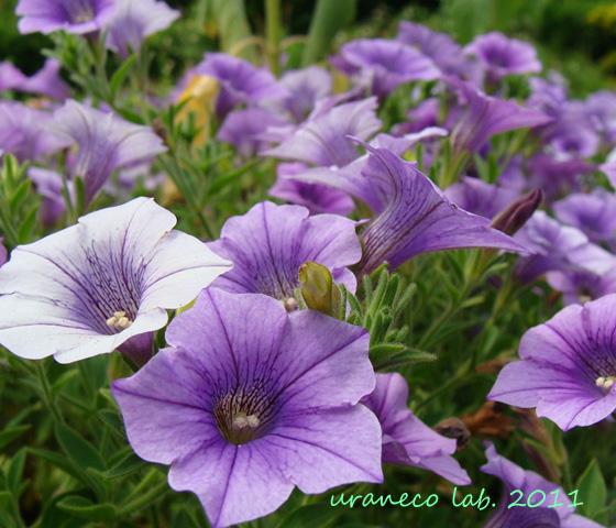 6月15日ペチュニア紫
