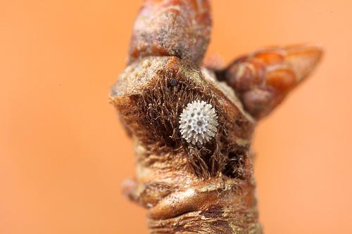 ミズイロオナガシジミ越冬卵