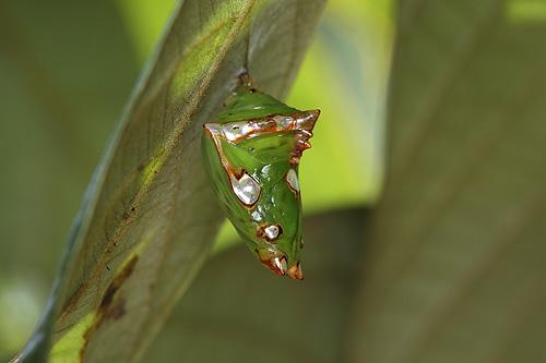コケムシイナズマの蛹