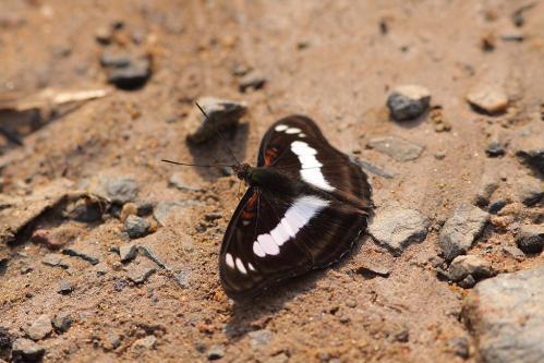 Athyma selenophora
