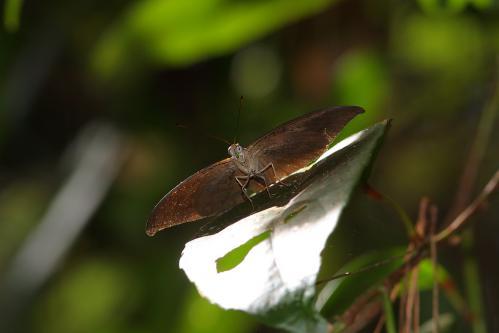 Cynitia stellata