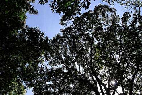 Gung Reの樹冠