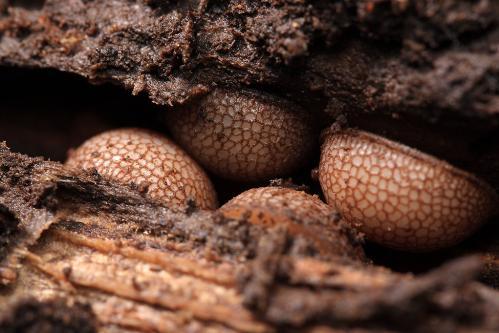 アリスアブの幼虫