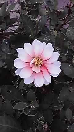 完璧な椿の花