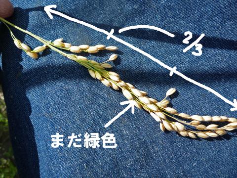 稲の刈り時