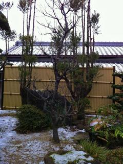 梅ノ木と雪
