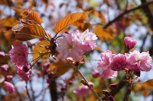 八重桜開花!