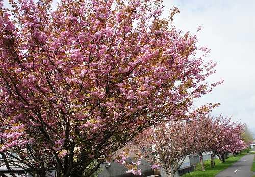 八重桜の公園