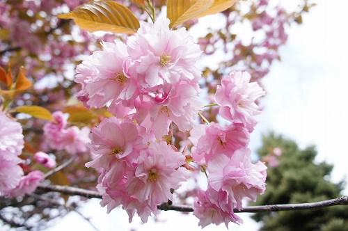 キレイなピンク色~