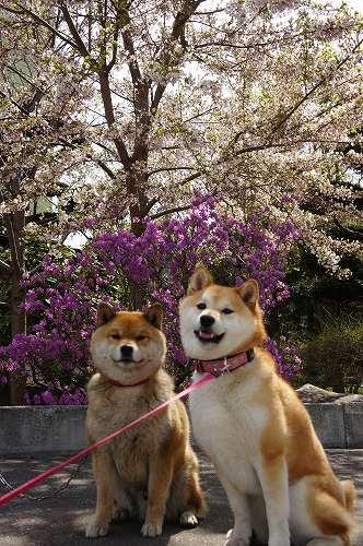 桜とももたと華