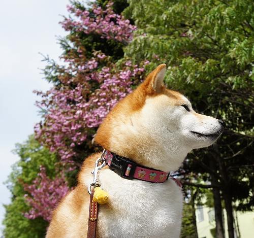 八重桜と柴犬