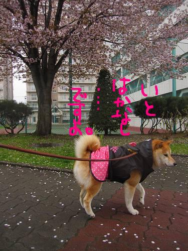 花散らしの雨。
