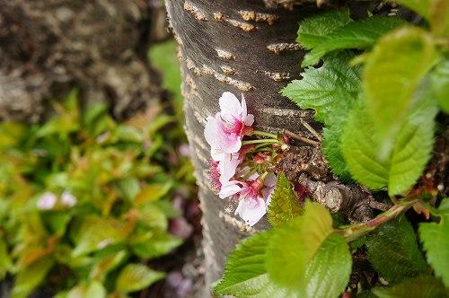 ド根性桜。