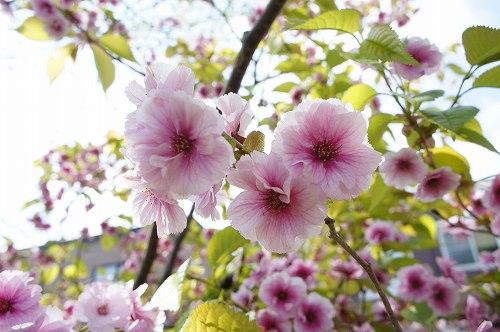 これも八重桜?