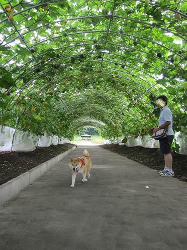カボチャのトンネル