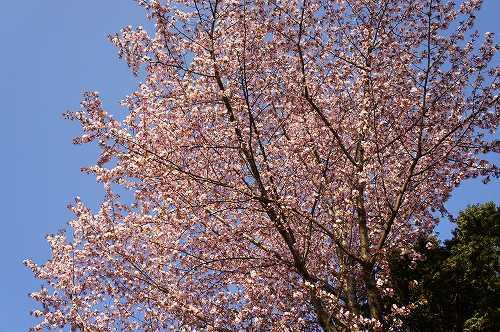 エゾヤマザクラ開花!