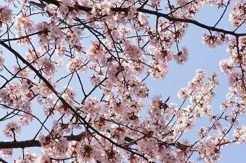 桜公園の桜