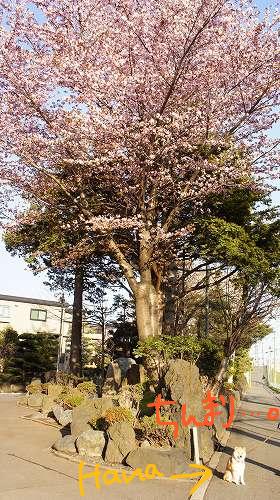 柴犬と桜・・・。