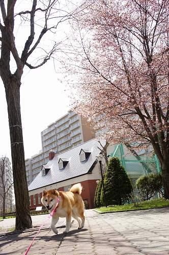 桜と柴犬・・動くなっっちゅ~の!