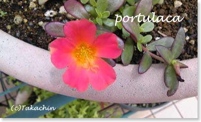 portyulaca02