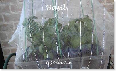 basil011-01