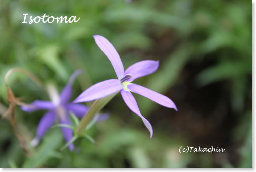 isotoma01