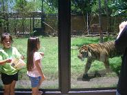 tigerhozoo