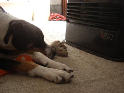 吹き出し口に顔をつけて寝るヒーター犬@キラ