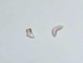 カガリの歯(2本)み~っけ!