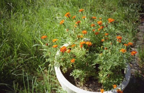 鉢植えの花A
