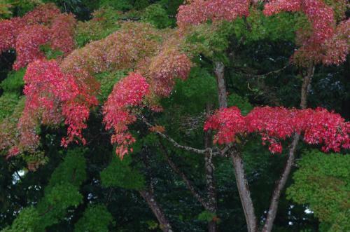 吉野神宮の紅葉1