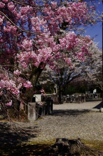 吉野神宮の桜A