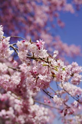 吉野神宮の桜B