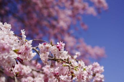吉野神宮の桜C
