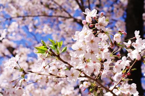 ゾロ目の桜1