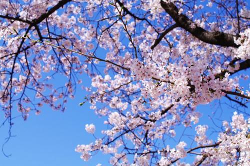 ゾロ目の桜2