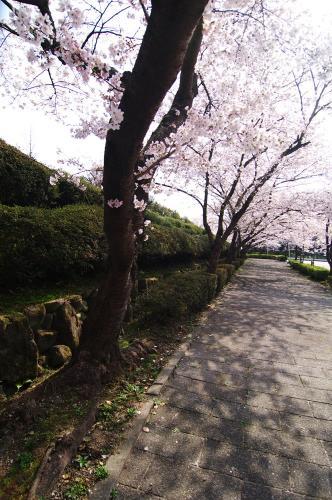 飯盛の桜1