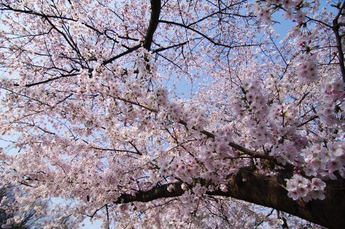 飯盛の桜2