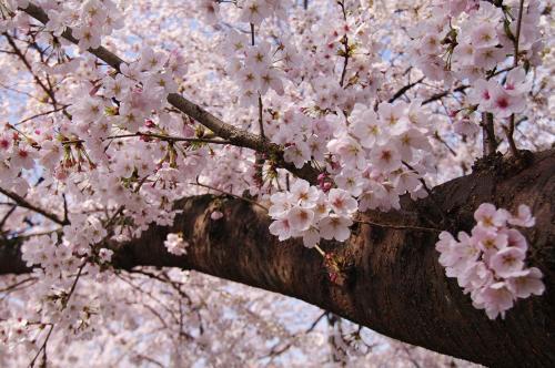 飯盛の桜3