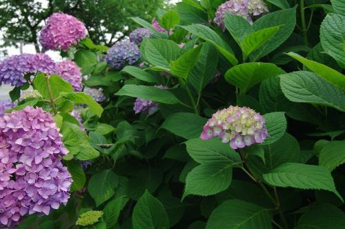6月6日の紫陽花1