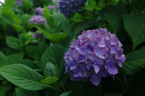 6月6日の紫陽花2