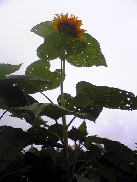 suncokret4.jpg