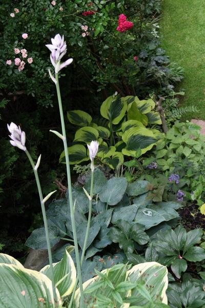 階段のサガエの花とギボウシ